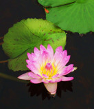 Fuschia Waterlily in October by trixxie17, Photography->Flowers gallery