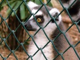 Eyes of the Lemur by ventiol, photography->animals gallery