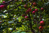 Apples by Eubeen, photography->nature gallery