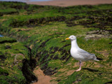 Gull  -  Standing by braces, Photography->Birds gallery