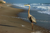 Spring Break Heron by tweezer, photography->birds gallery