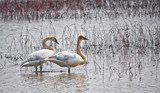 Swans At The Marsh by Jimbobedsel, photography->birds gallery