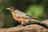 Robin by egggray, photography->birds gallery
