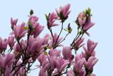Magnolias 3 by Ramad