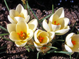 Golden Crocus !! by JOHNLAKEBURR, Photography->Flowers gallery
