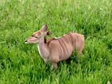 Female Kudu by rhelms, Photography->Animals gallery
