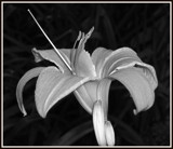 B/W Challenge - Day Lily by icedancer, contests->b/w challenge gallery