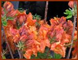Old Azalea by trixxie17, photography->flowers gallery