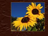 Sunny Sweethearts on chocolate by wheedance, Photography->Flowers gallery