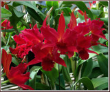 Red Cattleyas by trixxie17, Photography->Flowers gallery