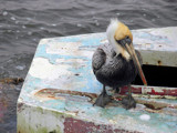 Pelican On Deck by Cosens, Photography->Birds gallery