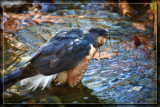 Merlin's No Magician (Or Even A Merlin) by Jimbobedsel, photography->birds gallery