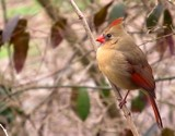 Female Cardinal by CDHale, photography->birds gallery