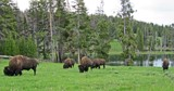 Buffalo Herd by reddawg151, Photography->Animals gallery