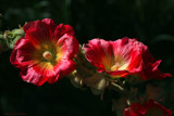Hollyhocks by nmsmith, Photography->Flowers gallery