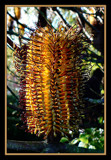 Sunny Banksia by LynEve, Photography->Flowers gallery