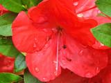 Azalea Closeup by sharonva, photography->flowers gallery