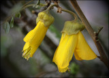 Kowhai by LynEve, photography->flowers gallery