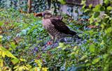 Sparrow Hawk by gizmo1, photography->birds gallery
