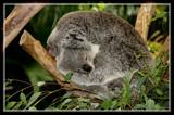 Momma And Baby Koala 2 by Jimbobedsel, photography->animals gallery
