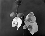 White Orchids by Ramad, contests->b/w challenge gallery