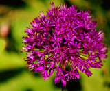 Friday Allium by braces, Photography->Flowers gallery
