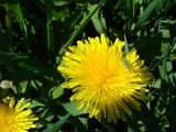 DANDELION by picardroe, photography->flowers gallery