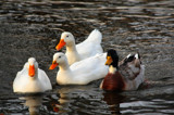 Three Aflacs Plus One ? by tigger3, Photography->Birds gallery