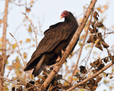 Turkey Vulture by garrettparkinson, photography->birds gallery