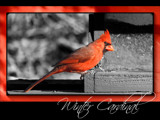 Winter Cardinal by Hottrockin, Photography->Birds gallery