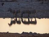 Botswana Tour #9  - Sunset with lotsa Stripes by mmynx34, Photography->Animals gallery