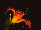 Back on Black by wheedance, Photography->Flowers gallery