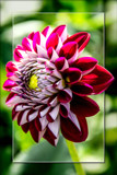 Dahlia Show 33 by corngrowth, photography->flowers gallery