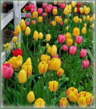 Tulip Border by trixxie17, photography->flowers gallery