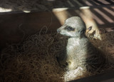 Meerkat by Pistos, photography->animals gallery