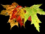 Acer spp. by gs208103, Photography->Still life gallery