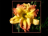 Cedar Shingles by jcferg99, Photography->Flowers gallery