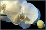 Orchid & Bud by corngrowth, photography->flowers gallery