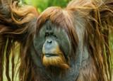 Orangutan by luckyshot, photography->animals gallery