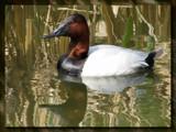 Ducks Unlimited II by Hottrockin, Photography->Birds gallery