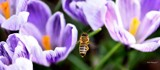 Bee Among The Crocus by tigger3, photography->insects/spiders gallery