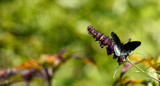 Red Spotted Purple Swallowtail by tigger3, photography->butterflies gallery