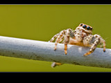 jumping spider by kodo34, Photography->Insects/Spiders gallery