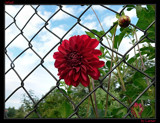 Jailed by Larser, Photography->Flowers gallery