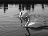 Swans on Silver by braces, Photography->Birds gallery