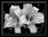 Lilies Adorn a Silver Christmas!     Rework! by marilynjane, Photography->Flowers gallery