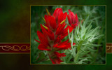 Indian Paintbrush by nmsmith, Photography->Flowers gallery