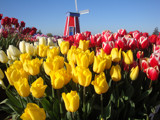 Windmill in the tulip fields by auroraobers, Photography->Flowers gallery