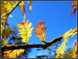 Cypress Leaves Against An Autumn Sky by Galatea, photography->general gallery