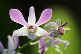 Singapore Orchids (8) by Pistos, photography->flowers gallery